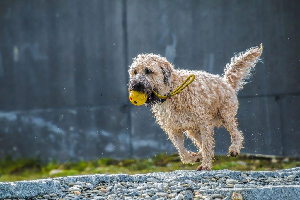 ボールを持って走る犬
