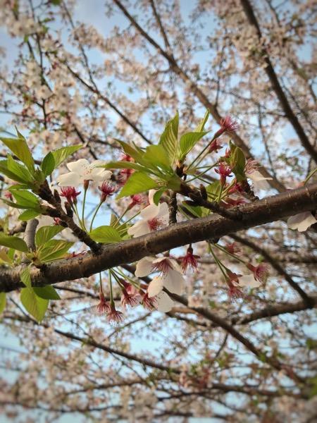 桜の香りを楽しむ1