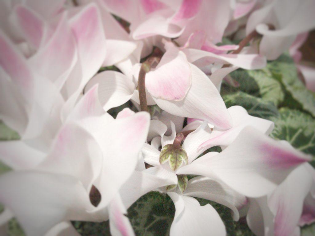 初の植物育成!シクラメンを育て始めた12月〜育て方や注意点・花言葉を調べてみた〜